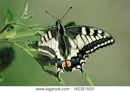 butterfly eastern tiger swallowtail on green background