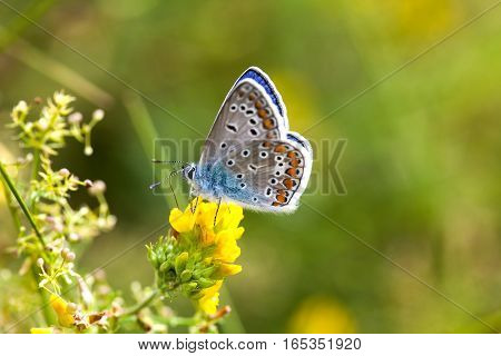 Colorful butterfly closeup. Blue orange gossamer-winged Polyommatus icarus on clover flower. Summer time greenery color landscape background, macro shallow depth of field