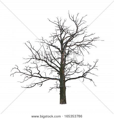 Dead tree in winter isolated on white background