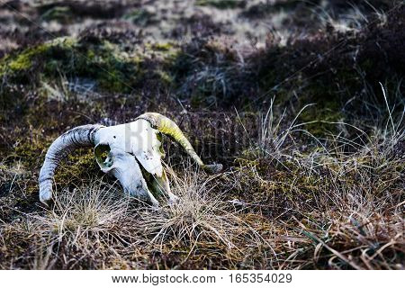 A mossy ram's skull sits on grassy marshland