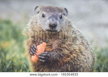 Young Groundhog (Marmota Marmox) holding a half-eaten carrot and mouth closed
