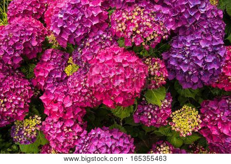 Colorful blossoming hortensia flowers on Madeira island
