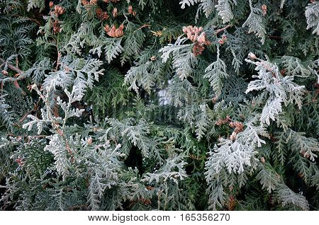 Natural background. Green juniper branches covered with white hoarfrost close-up.