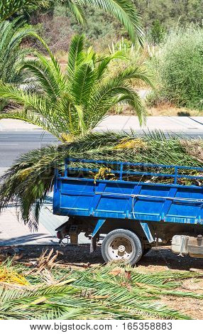 Cutting down palm trees. Vehicle with palm leaves.