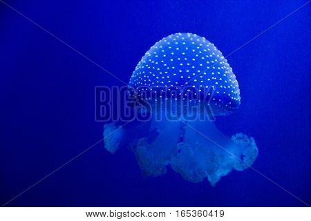Jellyfish, one of many species that you can find in Genova sea museum