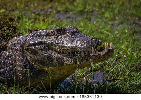 Yacare Caiman, crocodile in wetlands in the Pantanal, Paraguay