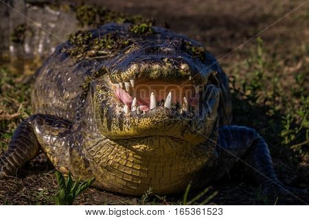Yacare Caiman, crocodile with open mouth in wetlands in the Pantanal, Paraguay