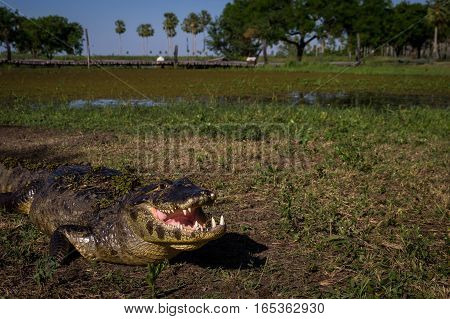 Yacare Caiman, crocodile with open mouth on a green meadow in wetlands in the Pantanal, Paraguay