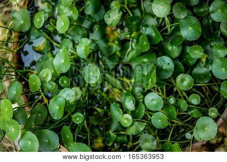 centella in flowerpot  with blurred background  , detail