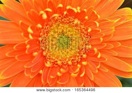 Gerbera Flower In A Garden