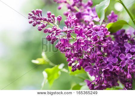 Springtime landscape with bunch of violet flowers. lilac blooming plants background. soft focus photo