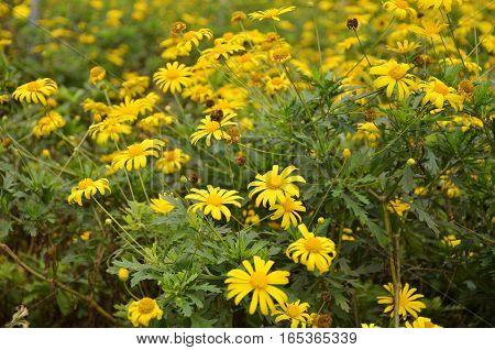 Coreopsis Verticillata Flower