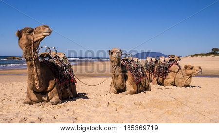 Camels resting on beach in Australia. Wild camels are brought from the Ourback to the coast as a tourist attraction.