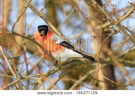 Beautiful Small Bird Common Bullfinch In Winter