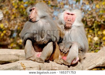 Two hamadryas baboons sitting in the open