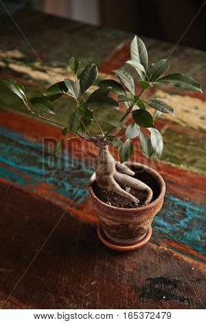 Ginseng bonsai ficus tree in a clay pot on a vintage dark brown dining table roughly painted with pastel colors