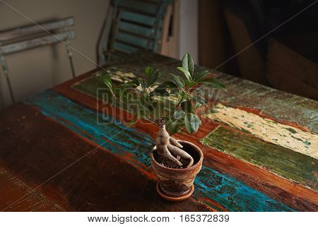 Ginseng small decorative ficus tree in a clay pot on a vintage dark brown dining table roughly painted with pastel colors