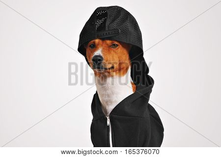 Confident brown and white basenji dog in black hoodie and black mesh back baseball cap isolated on white