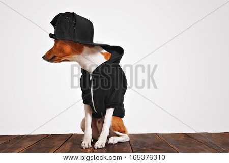 Cool looking brown and white dog in cool black hoodie and baseball cap with mesh back, looking on sides, isolated on a rustic wooden table against white background