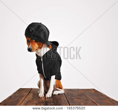 Guilty looking brown and white dog in cool black hoodie and trucker cap with mesh back on a rustic wooden table against white background