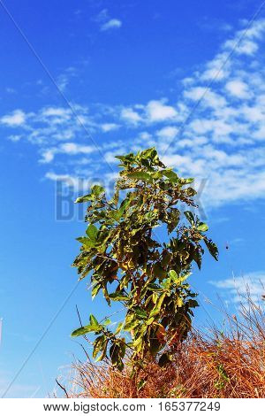 Dry grass and trees on the field with blue sky.
