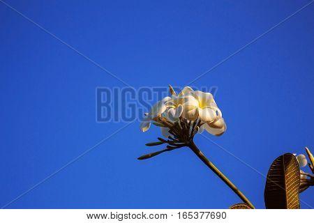 beautiful of frangipani on the blue sky.