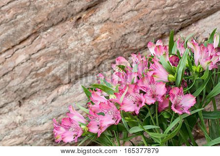 Bright colorful spring background of pink alstroemeria on the background pine wall with bark. Original background for holiday cards for Valentines Day Mothers Day with space for text
