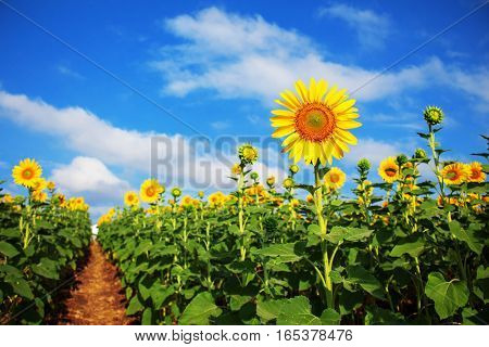 Sunflower on field with the blue sky.