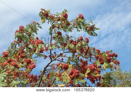 Many rowanberries bunches on tree over blue sky