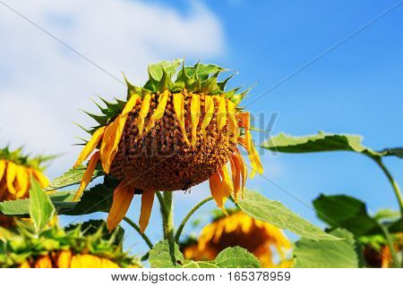 Withered of sunflowers with bee on pollen.