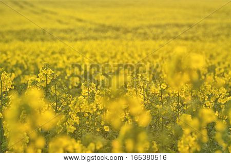Blooming Canola Flowers On Agricultural Field. Rape In Nature In Spring. Bright Yellow Oil. Flowerin