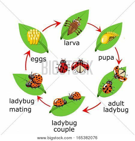 Illustration of life cycle of a Ladybug for kid