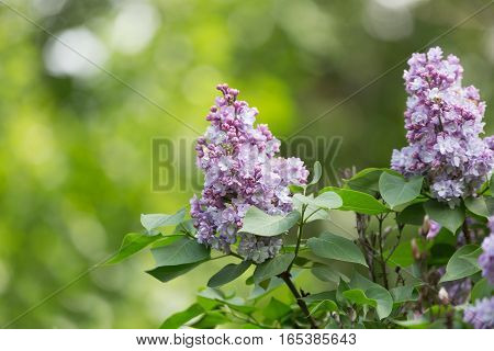 branch of blossoming violet lilac close up