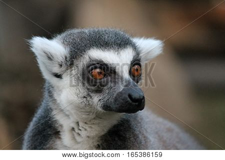 Ring-tailed Lemur Monkey With Orange Eyes In A Zoo