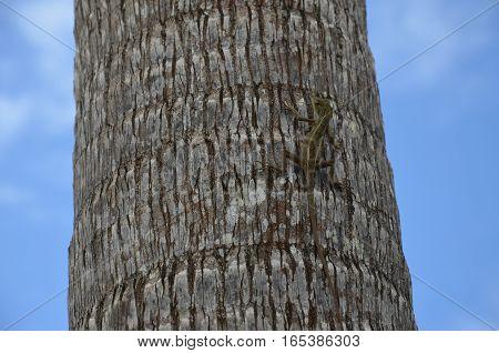 Lizard on a Palm Tree Tropical Blue Sky
