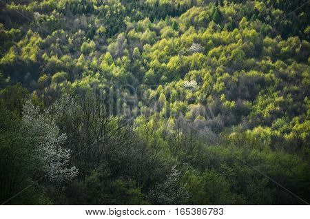 Spring forest with all color tones of green with special light - Photo from wild nature with trees leafs and white flowers in blossom