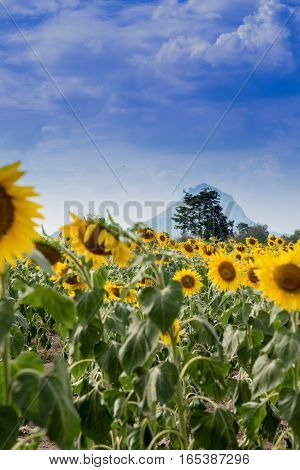 Summer Sunflower Field. Field Of Sunflowers With Blue Sky. A Sunflower Field At Sunset..