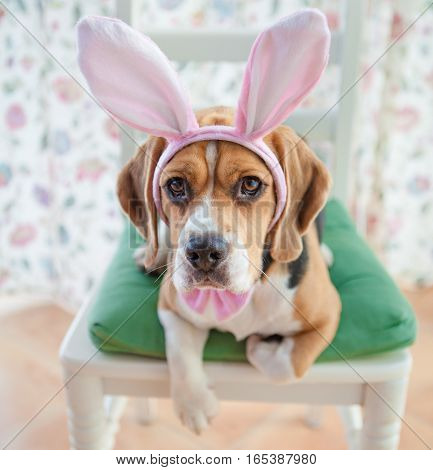 Young beagle dressed up as the easter bunny