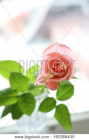 Beautiful pink rose close up, soft focus