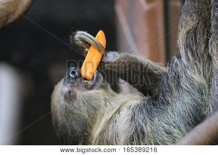 Sloth Long Clawed Eating (choloepus Hoffmanni)