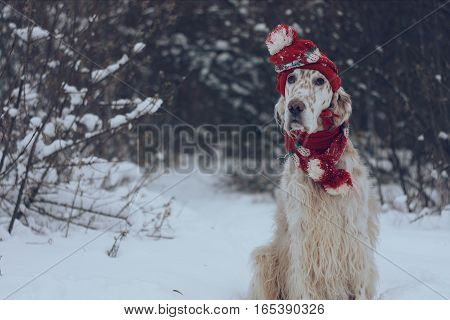 Cute white big spotty furry dog of hunting breed english setter sitting in winter frosty full of snow forest wearing red warm hat and scarf on white christmas background in vintage style