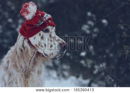 Adorable fashionable purebred spotty dog english setter portrait with red hat on isolated on natural winter christmas and new year background in vintage style
