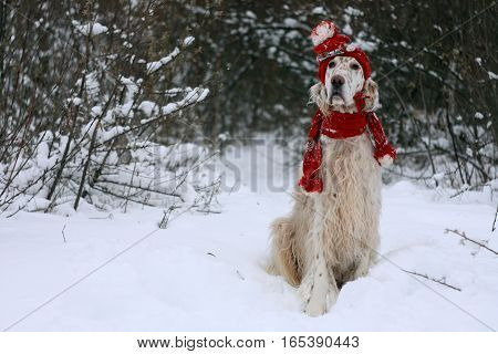 Cute white big furry funny dog with brown spots sitting on frosty white snow and forest natural background wearing warm red hat and scarf, english setter - hunting breed on new year and christmas time