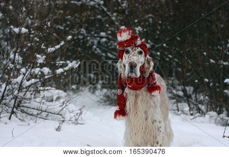Cute funny and adorable big beautiful purebred dog of huntung breed English Setter with stylish red warm hat and scarf staying and posing on winter white background for christmas and new year cards