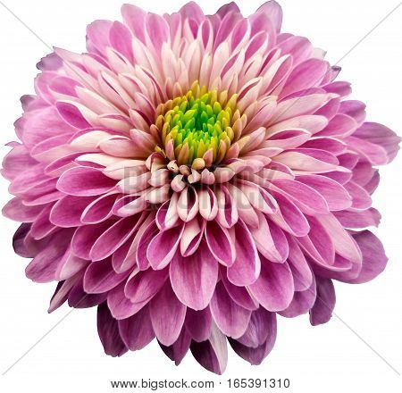 pink-violet flower chrysanthemum transparent  isolated background with clipping path. Closeup. no shadows. Nature.