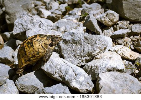 Land turtle crawling on rocks in the wild on a sunny day.