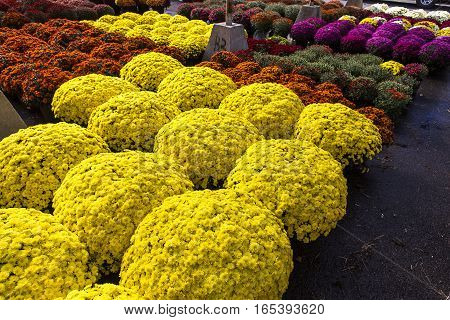 colorful Chrysanthemums in a flower market Montreal Quebec Canada