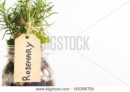 Organic plant of rosemary in a pot isolated on a white background