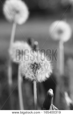 fluffy dandelions in atmospheric evening light , transferred into black and white
