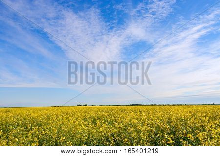 Rape field and blue sky with clouds on a sunny day